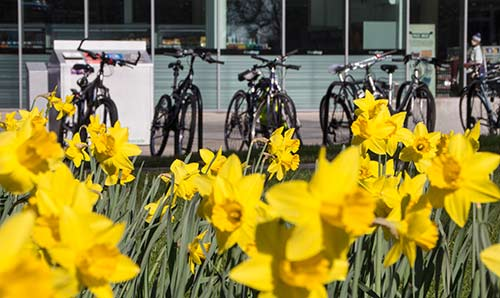 Bicycles and daffodils.